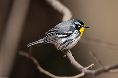 Yellow-throated Warbler (grobinette) Tags: yellowthroatedwarbler warbler leesylvaniastatepark explored