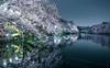 Silence of SAKURA Mirror Park (sapphire_rouge) Tags: 吉祥寺 東京 桜 kichijyoji hanami 井の頭公園 inogashira cherryblossom 花見 reflection cherry park ngc japan tokyo sakura