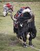 Yaks#3 (bag_lady) Tags: yaks animals tourism pangonglake ladakh jammuandkashmir india remote himalayas