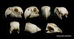 Psittacidae_DSC0822 (achrntatrps) Tags: crânes skulls bones os animals nikkor d800 pce45mmf28 alexandredellolivo suisse lachauxdefonds lycéeblaisecendrars collection sb900 sb800 achrntatrps achrnt atrps photographe photographer flash