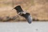 Great Blue Heron (J.B. Churchill) Tags: birds garrett maryland pineyreservoir places taxonomy