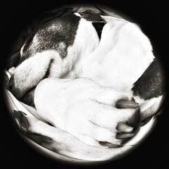 Let Sleeping Dogs Lie (DRCPhoto) Tags: hipstamatic fisheye fynn8mmlens pitbull