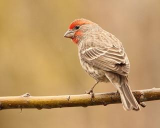 Male House Finch,  Haemorhous mexicanus