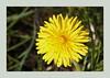 junge Pusteblume (Rolf Piepenbring) Tags: löwenzahn dandelion pusteblume