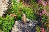 Marmotte - Font d'urle (Nik2o) Tags: herbe roche montage altitude vercors focus auvergnerhônealpes france fr nikon d7500 marmotte