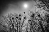 They are back! (andythomas390) Tags: rooks rookery sum monochrome bw nikon d7000 18200mm