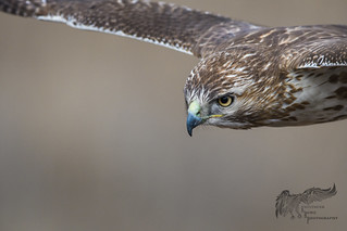 Juvenile Red Tail 4_10 (un-cropped!)