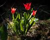 Tulpen (I-Like-My-Fotos-RAW) Tags: tulips flower flowers tulpe blume blumen grün green light licht garden garten macro bokeh collores farben mature natur 50mm canon200d red rot