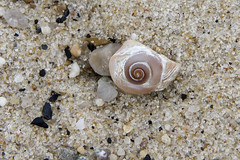 Piece of the Moon (brucetopher) Tags: beach nature natural wall weather sand rock rocky seashore coast coastal seacoast waterfront shell spiral fibonacci fibonaccicurve goldenmean goldencurve curve math moonshell moonsnail snail mollusk mollusca mollusc seashell