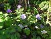 2018 Germany // Unser Garten - Our garden // im April // Anemone (maerzbecher-Deutschland zu Fuss) Tags: garten natur deutschland germany maerzbecher garden unsergarten 2018 april anemone