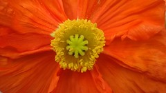 In the center of a flower (Luc1659) Tags: yellow flower papavero primavera colors details center orange poppy