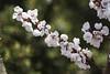 A little green (Princess Ruto) Tags: apricot blossom flower spring spring2018 tree brooklynbotanicgarden prunusarmeniaca
