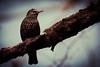 Star (HermannBu) Tags: berlin bird deutschland fauna ortetags vogel vögel de star sturnus vulgaris