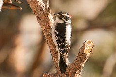 Downie Woodpecker (Trigger Pete) Tags: downie downy woodpecker