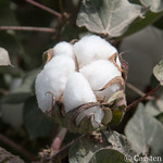 Chinese Silk Road cotton thumbnail