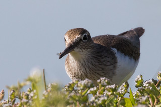 Chevalier guignette, Common Sandpiper