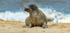 Sandy the Seal Pup (p.g604) Tags: horseygap norfolk seals 20180407imgp0785edit horsey england unitedkingdom gb sand beach waves surf pup seal sea zoom pentax k1