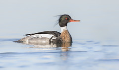 Red breasted Merganser (sspike@rogers.com) Tags: merganser water bird ontario steverossi wildlife lakeontario blue canon nature lake