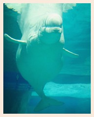 my friend beluga (Maluni) Tags: valencia espana spagna spain acquario acquarium water acqua sea mare beluga