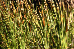 Cat Tail Walpaper (DonMiller_ToGo) Tags: cattails wallpaper outdoors background d810 nature