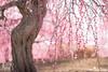 枝垂れ梅  Plum tree (gasdust) Tags: 梅 枝垂れ梅 鈴鹿の森庭園 春 花 sony fe90mmf28macrog fe2890 ソニー a7rm3 ilce7r3 α7riii α7rm3
