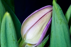Tulip Bud (Anvilcloud) Tags: focusstacked3 macro springflowers tulip tulips explored