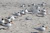 Royal Terns et al (Sterna maxima); Englewood Beach, FL [Lou Feltz] (deserttoad) Tags: nature animal water park florida bird wildbird tern gull behavior beach