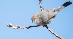 Bushtit | Bellingham (sunrisesoup) Tags: bushtit bellingham whatcom wa usa bird nature scudderpond
