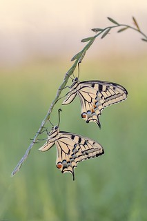 *Swallowtail in a double pack*