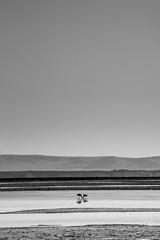 Flamingos in the Desert (CaOS - www.caosphotos.com.br) Tags: atacama chile desert flamingo lake salt