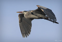 Great Blue Heron (Nick Scobel) Tags: great blue heron ardea herodias michigan