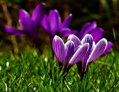 Spring is coming (sodorasodi) Tags: spring crocus flower nature color sun grass purple
