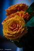Rosen / Roses (R.O. - Fotografie) Tags: rosen roses gelb yellow nahaufnahme close up closeup bokeh rofotografie panasonic lumix dmcfz1000 dmc fz1000 fz 1000 blumen flowers indoor