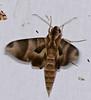 Hawkmoth (Eumorpha obliqua) (berniedup) Tags: kaw roura guyane moth hawkmoth eumorphaobliqua sphingidae taxonomy:binomial=eumorphaobliqua