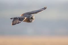 Short Eared Owl (ice21964) Tags: owls bird prey wildlife short eared owl nature