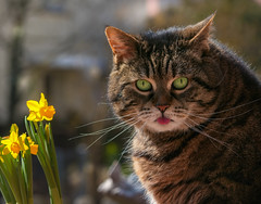 My opinion about the daffies ! (FocusPocus Photography) Tags: cleo katze cat chat gato tier animal haustier pet tabby narzissen daffodils frühling spring