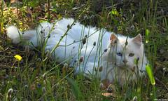 Cat with different coloured eyes (Geminiature Nature+Landscape Photography Mallorca) Tags: gatos katten cats whitecat gatoblanco wittekat ogen eyes verschillende diferente different colour color kleur oogkleur eyecolour colorojo stray zwerfkatten gatoscallejeros mallorca