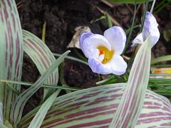 flower art (Julie70 Joyoflife) Tags: london londres blackheath printemps spring tavasz primavara flowers fleurs flori viràgok photojuliekertesz flowerart white bygaby