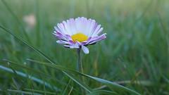 L'innocence... (passionpapillon) Tags: macro fleur flower flor fior fiori printemps springtime herbe pâquerette passionpapillon 2018