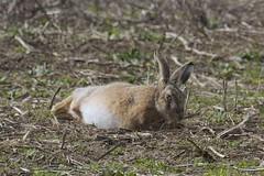IMG_3470 (Sula Riedlinger) Tags: brownharelepuseuropaeus lepuseuropaeus hare hares mammal ukmammal elmley elmleynationalnaturereserve kentwildlife nature nationalnaturereserve northkentmarshes ukwildlife uknature wildlife wildlifephotography