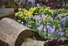 Crocus and Aconite (Le monde d'aujourd'hui) Tags: aconite cocus flower flowers winter spring yellow logs purple thedownhouse snowdropfestival 2017 february hampshire england