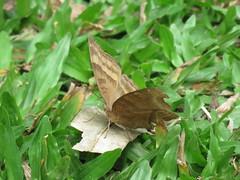 Junonia iphita (dhobern) Tags: 2018 china lepidoptera march xtbg xishuangbanna yunnan nymphalidae nymphalinae junoniaiphita