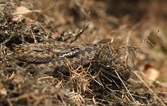 Adder - Vipera berus - European Viper (merijnloeve) Tags: adder vipera berus european viper nieuwmilligen nieuw miligsche zand apeldoorn gelderland macro snake vipers slang