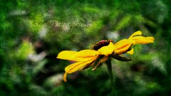 Yellow Flower (socalgal_64) Tags: flower bloom petals stems leaves flora floral texture texturebyipiccy carolynlandi socalphotography nature natural outdoors yellow green colorful yellowflower usa mygarden garden plant summer coth5
