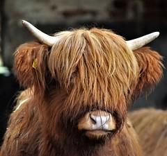 Moo! (flowergirlaaa) Tags: bòghàidhealach cattle cow calf portrait face hair fur horns nose brown 7dwf fauna farm livestock