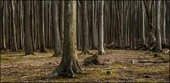 Nienhagen - Zauberwald (1) (Pana53) Tags: photographedbypana53 pana53 nienhagen ostsee balticsea zauberwald buchen lichtschatten farbe naturundlandschaftsfotografie naturfotografie wald bäume trees myart mcpommtutgut mcpomm mecklenburgvorpommern stämme gezogen nikon nikond500 holz wood