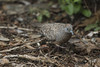 Zebra Dove (fantommst) Tags: lisaridings fantommst haleiwa hawaii northshore oahu hi usa us zebra dove geopeliastriata barred ground bird small columbidae