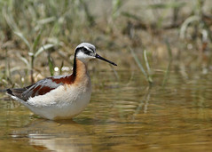 Wilson's Phalarope...#4 (Guy Lichter Photography - 3.9M views Thank you) Tags: wilsonsphalarope canon 5d3 canada manitoba beausejour wildlife animals birds
