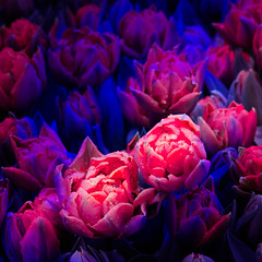 deep pixels! (m_laRs_k) Tags: hss flowers tulips holland lightroomed veryvivid color sliderssunday omd 7dwf