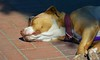 Snooze With Shades On (Scott 97006) Tags: dog sleep snooze canine animal pet cute